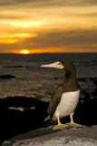 Seabird Royalty Free Stock Images