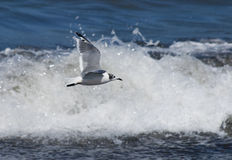 Seabird. S flying over the waves Royalty Free Stock Photo