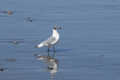 Seabird. Small seabird on wet sand Royalty Free Stock Photo