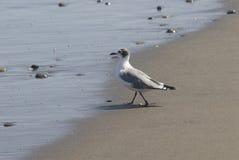 Seabird. Small seabird on the wet sand Royalty Free Stock Photography