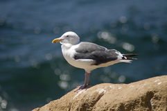 Seabird Stock Photo