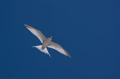 seabird Стоковое Изображение RF
