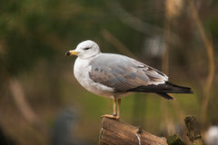 seabird fotografia de stock royalty free