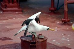 Portrait of the seabird named Masked Booby. stock images