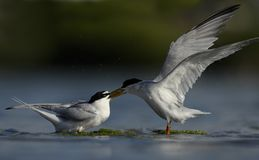 Seabird całowanie w brzeg rzeki zdjęcie royalty free