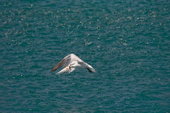 Seabird carrying fish  Royalty Free Stock Photos