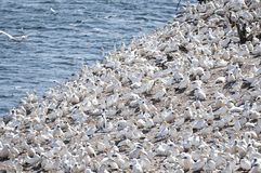 Seabird colony of Northern Gannets at Bonaventure Island in Quebec, Canada. royalty free stock photo