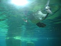 Seabird dives underwater and looks through a pane Royalty Free Stock Photos