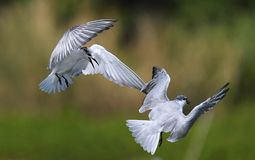 Seabird fighting over teritory in the air stock photos