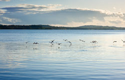 Seabird flying above lake surface Stock Images