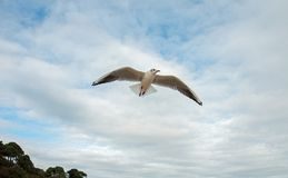 SEabird flying in the cloudy blue sky. A seabird flying in the summer skies along the coast Stock Photo