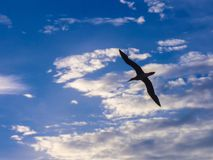 Seabird flying in a cloudy scenery. A seabird is flying in the sky above the ocean Royalty Free Stock Photo