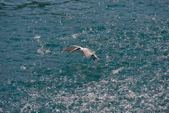 Seabird flying over ocean Royalty Free Stock Photos