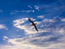 Seabird flying in the sky. Seabird flying above the ocean in the sky Royalty Free Stock Image