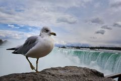 Seabird in front of the Niagara fall. A seabird is enjoying its good time in front of the Niagara fall royalty free stock photo