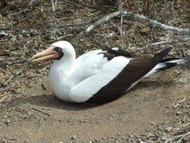 Seabird. In Isla la Plata, Ecuador Royalty Free Stock Images