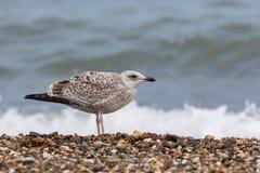 Seabird. Juvenile sea gull. Young bird in profile on the coast. Coastal wildlife on the beach at the seaside Stock Photo