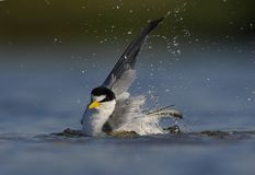 Seabird kąpanie w świetle słonecznym fotografia royalty free