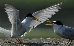 Seabird karmienie birdling na piaskowatej plaży zdjęcie stock