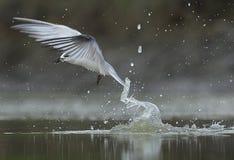 Seabird krzesania woda dla ryby zdjęcia stock