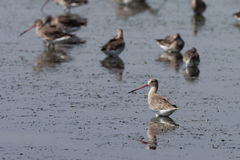 Seabird living at wetland. Group of seabird living at wet land , mud Stock Photo