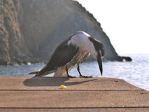 Seabird by ocean. Closeup of seabird scavenging for food on wooden pier by ocean Stock Image