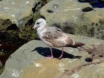 Seabird och hennes skugga på en vagga royaltyfri fotografi