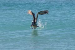 Seabird, Pelican, Bird, Water royalty free stock images