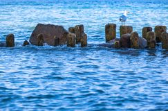 Seabird przy rzędem pachwina i skały zdjęcie stock