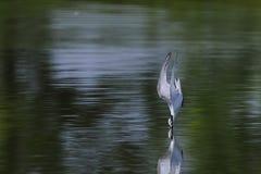Seabird przygotowywający nurkować na wodzie obrazy royalty free