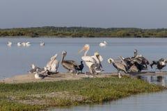 Seabird różnorodność podczas przesiedleńczego sezonu w Meksyk zdjęcia royalty free