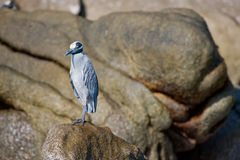 Seabird on rock Royalty Free Stock Photos