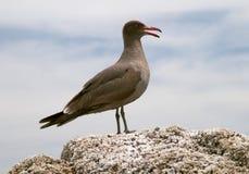 Seabird on rock Royalty Free Stock Photo