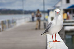 Seabird at Russell city. New Zealand. Stock Photography