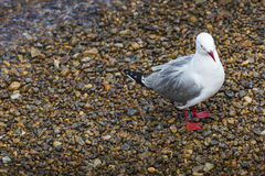 Seabird at Russell city. New Zealand. Royalty Free Stock Images