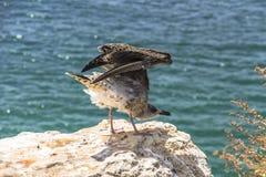 Seabird sitting on a rock, Algarve, Portugal Stock Photos