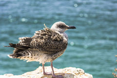 Seabird sitting on a rock, Algarve, Portugal Stock Images