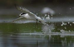 Seabird slpashing wodnej nieudanej krzesanie ryby obraz stock