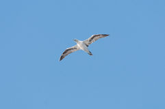 Seabird soaring in a blue sky Royalty Free Stock Images