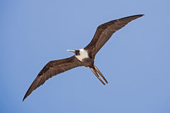 Seabird soaring in the sky Royalty Free Stock Photo