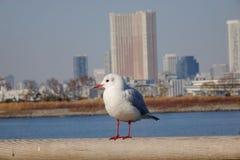 Seabird. Standing in Odaiba Bay, Tokyo, Japan Stock Image