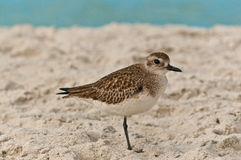 Seabird standing on one leg resting on a tropical beach Stock Image