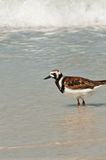 Seabird in the surf Royalty Free Stock Image