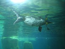Seabird swims on the water and looks under the water.  Royalty Free Stock Photo