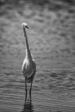Seabird walking on beach Royalty Free Stock Image