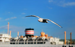 The seabird which flies in the port. Scenery of the flying seabird and passenger ship of Japanese Yokohama Port of the day when it was fine Royalty Free Stock Photo