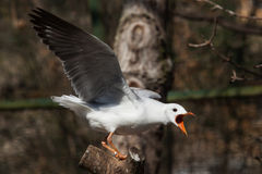 Seabird. A white seabird with its' wings spread, aobut to fly Royalty Free Stock Image