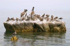 seabirds утеса пеликанов стоковые фотографии rf