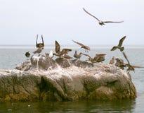 seabirds утеса Стоковое Изображение RF