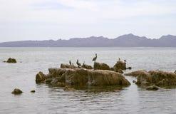 seabirds утесов пеликанов стоковые фото